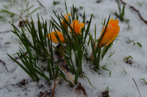 flowers-and-snow